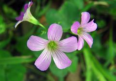 Purple flower (Anna Peterson) Tags: pentax vivitarseries12890mm vivitar pentaxk3 manualfocus vintagelens flower macro