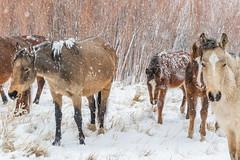(Marc Crumpler (Ilikethenight)) Tags: wildlife animals horses wildhorses nevadawildhorses snow cold winter snowstorm usa usawest nevada washoecounty washoevalley washoelake marccrumpler canon canon6 7dmarkii 70300mmf456lisusm