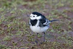 Pied Wagtail (Dougie Edmond) Tags: lochwinnoch scotland unitedkingdom bird nature wildlife