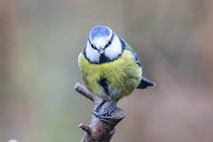 Blue Tit (Dougie Edmond) Tags: scotland unitedkingdom lochwinnoch bird nature wildlife