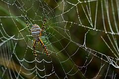 Humedad en la casa de Carlota (J Dominguez) Tags: araña gotas macrofotografia macro sony90mmmacro sonya7ii amanecer naturaleza insectos teladearaña rocío humedad