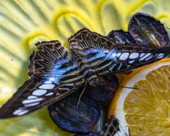 Blue Clipper Butterfly (Stephen G Nelson) Tags: insect butterfly clipper botanicalgarden tucson arizona