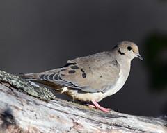 850_5197.  Mourning Dove (laurie.mccarty) Tags: bird birding nature naturephotography nikond850 bokeh outdoor wildlife