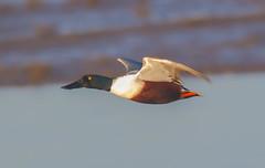 Shoveller (male) (badger2028) Tags: shoveller duck male flight flying