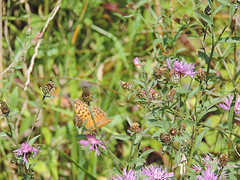 DSCN1623 (Gianluigi Roda / Photographer) Tags: summer august 2013 apennines prati fiori farfalle flora fauna meadows flowers wildflowers butterflies