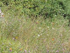 DSCN1614 (Gianluigi Roda / Photographer) Tags: summer august 2013 apennines prati fiori farfalle flora fauna meadows flowers wildflowers butterflies