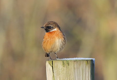 Stonechat (male) (badger2028) Tags: stonechat male post
