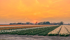 All the daffodils went out (in an orderly fashion) to see the sunset. (Alex-de-Haas) Tags: 1635mm d500 dutch europa europe holland nederland nederlands netherlands nikkor nikkor1635mm nikon nikond500 noordholland agriculture akkerbouw beautiful beauty bloemen bloemenvelden boerenland bollenvelden bulbfields daffodil daffodils farmland farming flowerfields flowers landbouw landscape landscapephotography landschaft landschap landschapsfotografie lente lucht mooi narcis narcissen polder pracht schoonheid skies sky spring sundown sunset zonsondergang