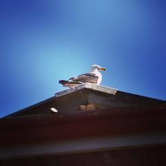 Epic Seagull (Usagashin) Tags: d5600 chile nature viñadelmar birds bird seagull