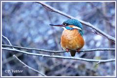 Martin-Pêcheur  200120-01-P (paul.vetter) Tags: nature faune oiseau vogel bird martinpêcheur alcedoatthis commonkingfisher martínpescadorcomún guardarios eisvogel alcédinidé