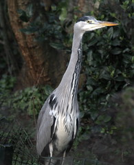 stalking a heron stalking a frog (Alan Smith IoM) Tags: heron isleofman birds