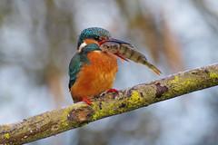 Kingfisher With Prey (Hugobian) Tags: kingfisher kingfishers bird birds fish perch nature wildlife fauna animal lackford lakes swt pentax k1