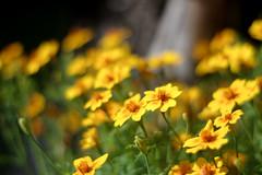 Kollased lilled (Jaan Keinaste) Tags: pentax k3 pentaxk3 eesti estonia lill flower loodus nature kollane yellow smcpentaxda11850mm