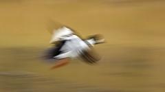 Goldeneye (ove ferling) Tags: bird birds nature wildlife goldeneye knipa flight unsharp panning slow shutter mölndal west sweden