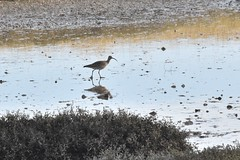 Whimbrel (PLawston) Tags: uk britain england west sussex pagham harbour rspb nature reserve whimbrel bird