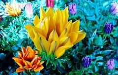 Colorfully life (orsapolaris54) Tags: flower flowerphotography fiore flowerpower flowers flowercolors flowerlovers fiori fioritura nature naturephotography naturelovers natura mobilephotography
