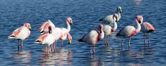 Flamingos (__ PeterCH51 __) Tags: flamingo chileanflamingo bird animal wildlife waterbird wadingbird lagoon flamingolagoon atacama salardeatacama sanpedrodeatacama chile peterch51