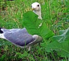 Чайка (lvv1937) Tags: wildlifephotographs worldofbirds thisiswhyiboughtacamera flickritiswhere81000peoplearestillhappilyinfected animalsallkinds birdsphotos птица чайка