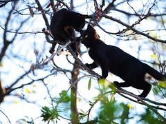 GFX3010 - Tree climber (Diego Rosato) Tags: tree albero climber scalatore cielo sky giardino garden black cat gatto nero animal animale pet stray randagio fuji gfx50r fujinon gf110mm rawtherapee