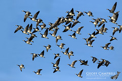Barnacle Goose (Branta leucopsis) (gcampbellphoto) Tags: barnacle goose branta leucopsis bird nature wildlife gcampbellphoto donegal malin head irish