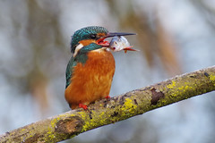Got A Live One! (Hugobian) Tags: kingfisher kingfishers bird birds fish perch nature wildlife fauna animal lackford lakes swt pentax k1