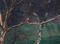Short Eared Owl (Cal Killikelly) Tags: shortearedowl deeestuary uknature owlinatree wirralpeninsula birdwatcher birdphoto wildlife wildowl shortie cheshirenorthwestengland treewater woodland