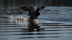 Mallard landing (5/5) (PChamaeleoMH) Tags: birds ducks clapham claphamcommon london flight landing mallards mountpond