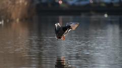Mallard landing (2/5) (PChamaeleoMH) Tags: birds ducks clapham claphamcommon london flight landing mallards mountpond