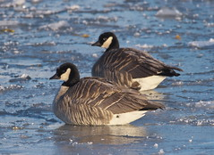 Cackling Geese (Branta hutchinsii) (Gavin Edmondstone) Tags: brantahutchinsii cacklinggoose goose bird ice bronteharbour oakville ontario