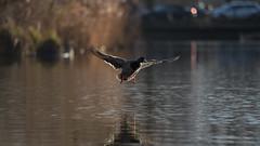 Mallard landing (1/5) (PChamaeleoMH) Tags: birds ducks clapham claphamcommon london flight landing mallards mountpond
