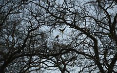 Parakeet and heron in tree (PChamaeleoMH) Tags: birds flight clapham claphamcommon trees london landing parakeet herons ringneckedparakeets mountpond