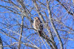 arcadia2020-106 (gtxjimmy) Tags: nikonz50 nikon z50 tamron 150600mm arcadiawildlifesanctuary massaudubon audubon bird massachusetts newengland raptor birdofprey hawk