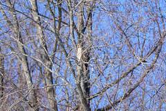 arcadia2020-104 (gtxjimmy) Tags: nikonz50 nikon z50 tamron 150600mm arcadiawildlifesanctuary massaudubon audubon bird massachusetts newengland raptor birdofprey hawk