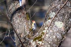 arcadia2020-95 (gtxjimmy) Tags: nikonz50 nikon z50 tamron 150600mm arcadiawildlifesanctuary massaudubon audubon bird massachusetts newengland redbreastedwoodpecker woodpecker