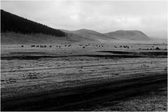 Yaks au bord de la route / Yaks along the road. (ericguéret) Tags: bw nb yak mongolia steppe mongolie road route piste travel work voyage 1999 printemps spring t5 desert landscape brumeux foggyday