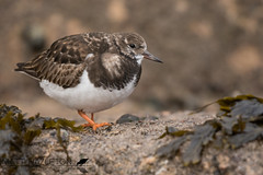 Turnstone (Matt Hazleton) Tags: wildlife nature animal outdoor bird cornwall canon canoneos7dmk2 canon500mm eos 7dmk2 500mm matthazleton matthazphoto turnstone arenariainterpres wader coast shore shorebird