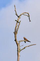 Kestrel (PLawston) Tags: uk britain england west sussex pagham harbour rspb nature reserve kestrel bird