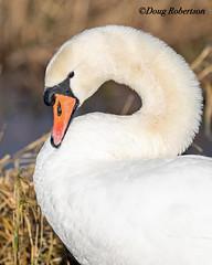 Mute Swan (DougRobertson) Tags: muteswan rspb greylake wildlife water waterfowl animal nature bird birdwatcher