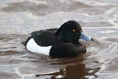 Tufted Duck (Dougie Edmond) Tags: lochwinnoch scotland unitedkingdom bird nature wildlife