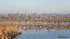 Duck Flock at RSPB Greylake (DougRobertson) Tags: wildlife animal nature duck waterfowl bird birdwatcher rspb greylake