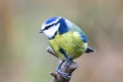 Blue Tit (Dougie Edmond) Tags: lochwinnoch scotland unitedkingdom bird nature wildlife