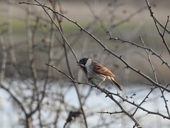 Reed bunting (Simply Sharon !) Tags: reedbunting bird wildlife nature winter january staidens
