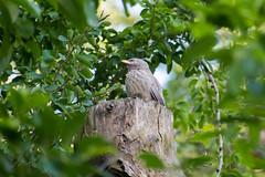 Yellow billed babbler (kamalakannan.d) Tags: yellowbilledbabbler bird nikon nikonphotography birdphotography nature
