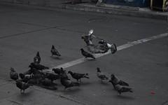 Majestic (Usagashin) Tags: d5600 valparaíso chile birds pigeons pigeon bird nature naturephotography