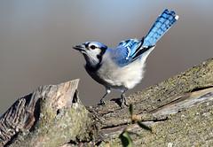 850_5363   Blue Jay (laurie.mccarty) Tags: bird birding nature naturephotography nikond850 bokeh outdoor wildlife bluejay