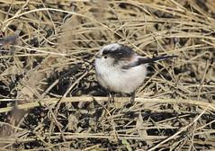 Long-tailed Tit (Prank F) Tags: stanwicklakes rockinghamforesttrust wildlife nature bird tit longtailed