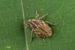 91114 (NakaRB) Tags: 2018 insecta coleoptera curculionidae