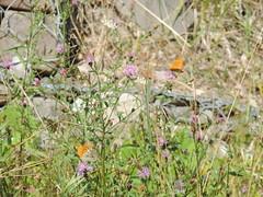 DSCN1624 (Gianluigi Roda / Photographer) Tags: summer august 2013 apennines prati fiori farfalle flora fauna meadows flowers wildflowers butterflies
