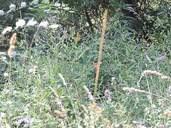 DSCN1618 (Gianluigi Roda / Photographer) Tags: summer august 2013 apennines prati fiori farfalle flora fauna meadows flowers wildflowers butterflies