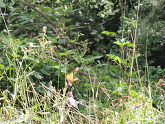 DSCN1615 (Gianluigi Roda / Photographer) Tags: summer august 2013 apennines prati fiori farfalle flora fauna meadows flowers wildflowers butterflies